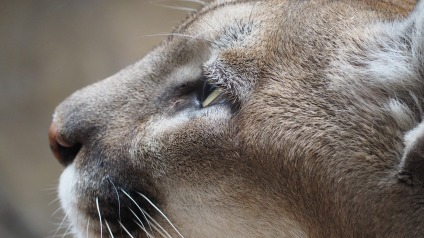 mountain-lion-1416507_1920