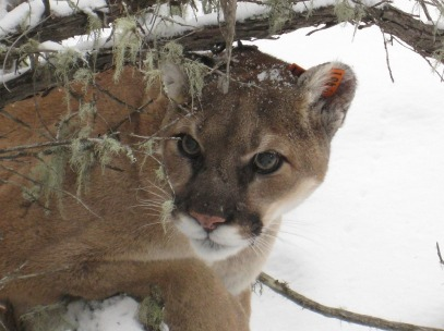 mountain-lion-938474_1280